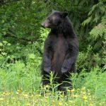 Standing black bear